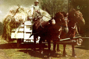 Rube George (Frances's great uncle) on big mule-drawn hay wagon